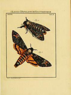 dendroica:    Death's Head Sphinx Mothby BioDivLibrary on Flickr.  De natuurlyke historie der insecten;. Te Haarlem,By C. H. Bohn en H. de Wit, boekverkoopers[1764-68].biodiversitylibrary.org/page/6961658