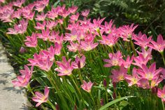 Zephyranthes, aka Rain Lily, is a bulb, has small white or pink flowers,  grows to 20cm high and flowers after rain. Does best in  sunny spot in well drained soil, grows well as a border pla t and is concidred a bit of a weed in QLD.