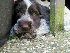 Tinker ~ Wirehaired Pointing Griffon Pup ~ Classic Look ~ 9 Weeks