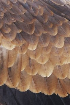 A close view of the wing feathers of a wedge-tailed eagle. Eagle Feathers, Bird Feathers, Wedge Tailed Eagle, Reptiles, Poetry Art, 3d Pen, Wild Dogs, Domestic Cat, Angels
