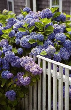 Hydrangeas over fence