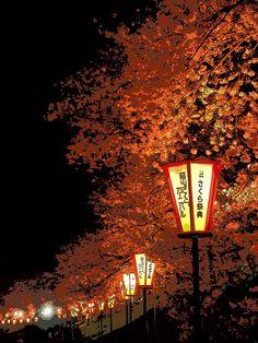 Japanese cherry trees at night