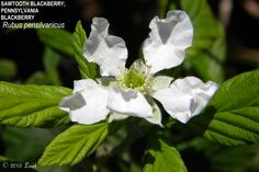 WHAT FLORIDA NATIVE PLANT IS BLOOMING TODAY?: SAWTOOTH BLACKBERRY; PENNSYLVANIA BLACKBERRY (Rubus pensilvanicus) CAREFUL! Thorns! Pollinators and other Insects are drawn to the flowers, juicy berri...