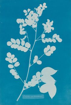 Colutea arborescens - 19th Century Photographs - Photographs ...