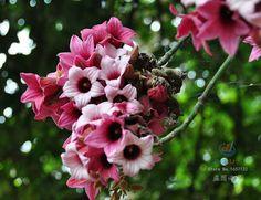 Lacebark дерево, Brachychiton обесцветить, 10 семян, Пышные розовые цветы, Засуховыносливые, Прекрасный улица дерево, Идеально подходит для бонсай купить на AliExpress