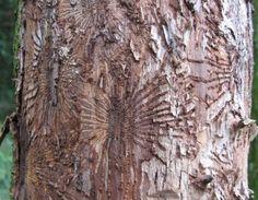 Dutch elm disease.