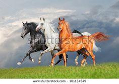 three arab horse runs free - stock photo