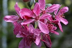 """Malus """"Royal Beauty""""...got this one.."""