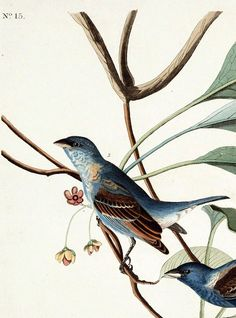 Animal - Bird - Indigo bird, Audubon (detail 1)