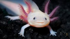 Mexico's axolotl 'water monster' may be extinct in the wild