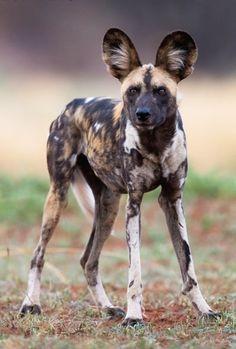 "beautiful-wildlife: "" African Wild Dog by © Gerry Van der Walt Madikwe Game Reserve - South Africa "" African Hunting Dog, African Wild Dog, Hunting Dogs, Amazing Animals, Animals Beautiful, Rare Animals, Animals And Pets, Mon Zoo, Mundo Animal"