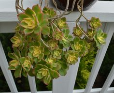 Echeveria, not sure of variety.  The original plant no longer exists, but these all came from it.