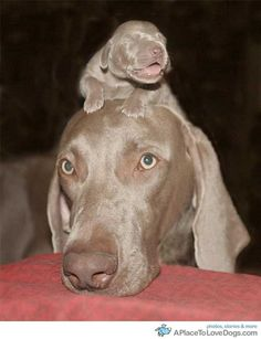Weimaraner love!!  one of the best dog ever.