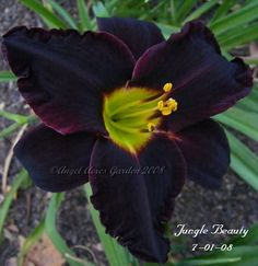 Jungle Beauty - (Apps, 1990) height 30in (76cm), bloom 5.5in (14.0cm), season M, Dormant, Diploid,  Black red with very faint black eyezone and yellow green throat. (African Chant × Super Purple)