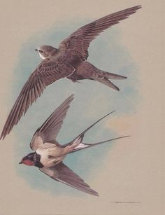 Swift Swallow High Quality Original Vintage Basil Ede Bird Print | eBay