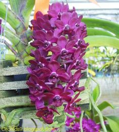 Vanda Orchids Growing in Water Orchid Plants, Foliage Plants, Exotic Plants, Exotic Flowers, Red Flowers, Beautiful Flowers, Red Orchids, Vanda Orchids, Plante Carnivore