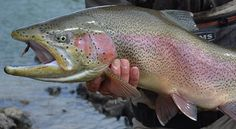 See This, Do That: Sight Casting to Large Rainbow Trout in an Eddy   Field & Stream