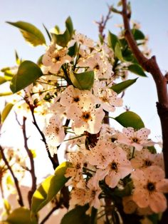 LOVE pear tree blossoms! They're are another sign of spring to me. AND the insects love 'em!