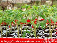 rasaduri de rosii 7 Plants, Plant, Planets