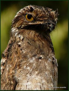 Lesser Potoo by julian londono, via Flickr