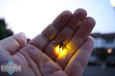 lightning bugs ~ Remember catching them in jars and letting them go at night! Wonderful!