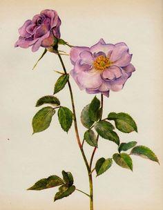 Botanical ROSE Print Chabby Chic Gallery Wall Art PRELUDE TEA Rose Roseart 212