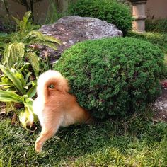 And here we have the rare shiba-in and evergreen hybrid shrub.