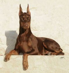 The beautiful red Doberman with the look of eagles. Photo by: Gay Glazbook