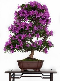 Violett flowers of a azalea bonsai