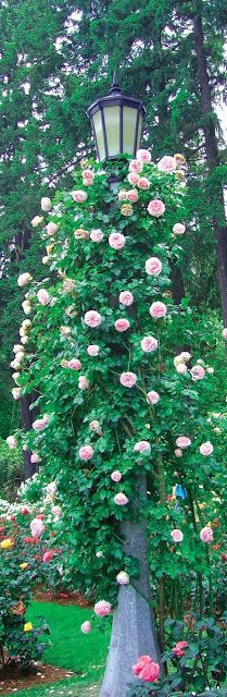 Hello lamp post, wha´sha knowing, come to whatch your flowers growing....Wow! Climbing roses on a lamp post.