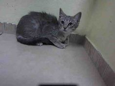 HAZEL NUT - A1040693 - - Brooklyn   ***TO BE DESTROYED 07/06/15*** ADORABLE TINY KITTEN TRIPLETS HAVE GREAT BEHAVIOR RATINGS, BUT WILL DIE BECAUSE THEY SNEEZED – PLEASE GRANT CHESTNUT, CASHEW, AND HAZEL NUT A DEATH ROW PARDON!!! Darling 14-week-old kitten triplets CHESTNUT, CASHEW, and HAZEL NUT entered the kill-happy ACC as STRAY babies, all alone, with no mama cat to comfort and protect them! Chestnut and Cashew, both boys, are the sweetest black fluffballs, while s