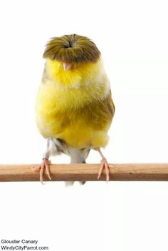 Glouster canary