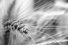 Wheat by Florian Trasca on 500px