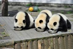 You knew that something was already missing from your day. You didn't know that it was these photos of baby pandas at a real-life panda daycare.