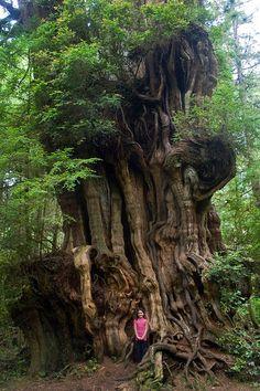 Big Cedar Tree, (tiny girl) Olympic National Park by woodleywonderworks Le Baobab, Weird Trees, Cedar Trees, Unique Trees, Old Trees, Big Tree, Tree Forest, Belleza Natural, Tree Of Life