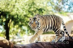 LSU's newest Tiger Mike VII