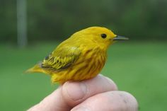 Did you know that the Yellow Warbler has the widest range of any of the North American Warblers?  It can be found from the Atlantic to the Pacific Oceans and from Canada to Mexico.  The female has also adapted a strange way to deal with Cowbird eggs that suddenly appear in her nest.  The YWAR will cover up all the eggs (including her own) and then lay new eggs.  Several layers have been found in YWAR nests.