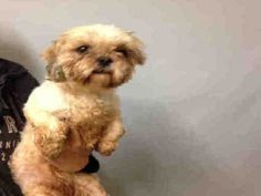 RETURN 08/25/2016 HOUSE SOIL --- SAFE 7-26-2016 --- Manhattan Center SHORTS – A1079782  FEMALE, WHITE, POODLE MIN MIX, 5 yrs STRAY – ONHOLDHERE, HOLD FOR EVICTION Reason ABANDON Intake condition UNSPECIFIE Intake Date 07/02/2016 http://nycdogs.urgentpodr.org/shorts-a1079782/