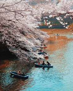 The arrival of the iconic Cherry Blossoms  in Tokyo attracts thousands of Japanese visitors into the city (not to mention millions more from around the world!) - if you think Im over exaggerating take a look at my insta story and see it for yourself  #Tokyo #Japan #CherryBlossom #igersTokyo #IgersJapan #cherryblossoms #cherryblossomseason #asia