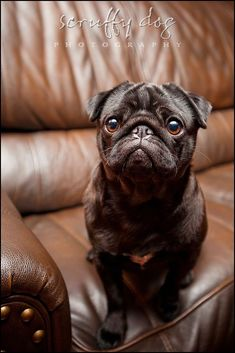 how could anyone resist the face of a pug?  I have no idea.  Welker Photography, Boise Idaho's Pet photographers loves this image.