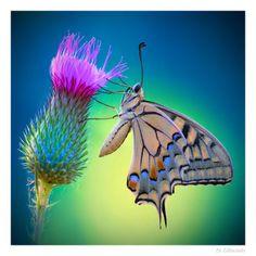 Wonderful creature.. ~ butterfly by Edmondo Senatore~~