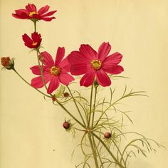 Cosmos bipinnatus - circa 1891