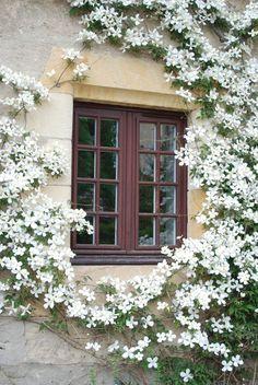 white clematis trained around a window by Rolf Blijleven via www.pithandvigor.com  #FlowerGardens