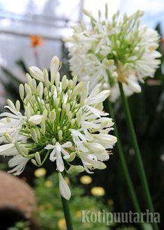 Valkoinen sinisarja (Agapanthus). Bergianska Trädgård, Tukholma. Agapanthus, Green, Plants, Plant, Planets