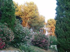 evening sun hits the oleander and trees in the pine forest