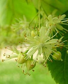 Love Linden fragrance.  We also drink Linden Blossom tea.............very calming, delicious and it opens up the sinuses...........can make in combination with chamomile/ginger/star anise and cinnamon for one heck of a tea