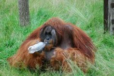 Orangutan able to guess a taste without sampling it just like us: Naong the orangutan makes decisions about drinks he never tasted before demonstrating affective forecasting ability https://www.sciencedaily.com/releases/2016/08/160811101027.htm