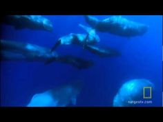 Take fish that each arm of prey diver divers I got Episode Guide, National Geographic, Whale, Fish, Nature, Animals, Fictional Characters, Videos, Whales