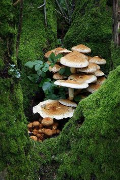 Cluster of Brown Mushrooms Hidden in a Green Moss Grotto