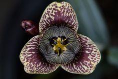 Tigridia vanhouttei Cactus, Perennials, Tulips, Planting Flowers, Orchids, Flora, Seeds, Garden, Plants